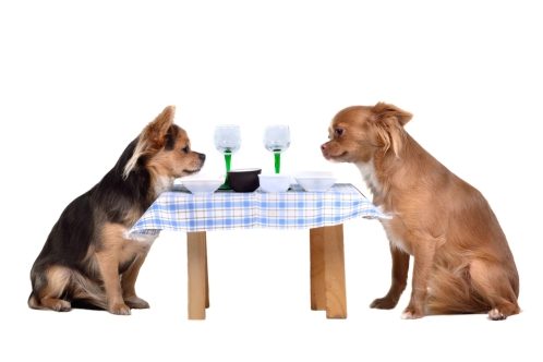 Two chihuahua dogs at the table